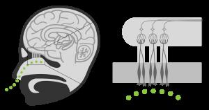 limbisch-systeem